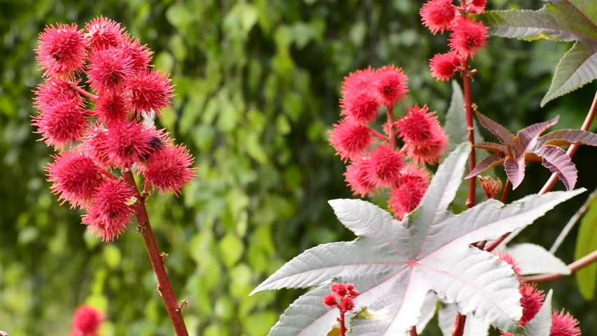 Castor-oil Plant with Bolls Stock Footage Video (100% Royalty-free ...