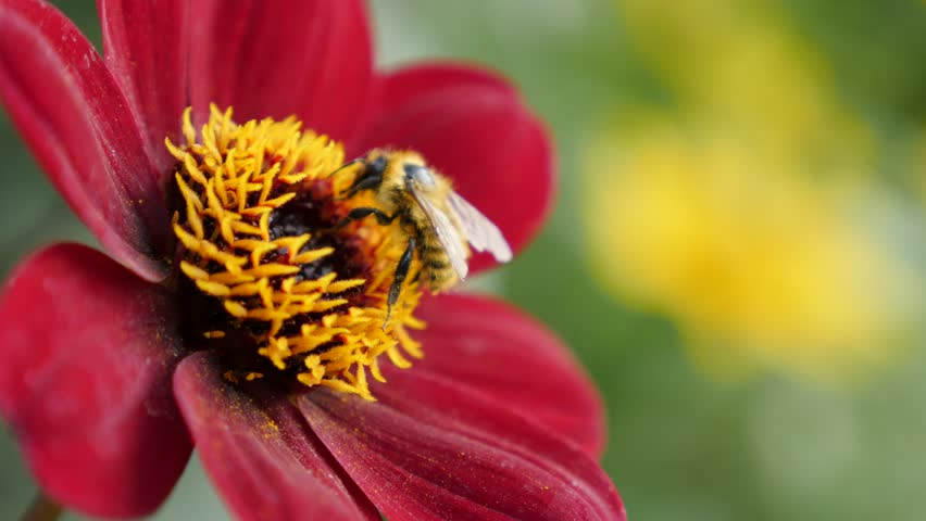 Dahlia red flower in the garden and bee 4K 2160p UltraHD footage - Beautiful Dahlia Bishop of Auckland carmine plant in front of other yellow plants with insect 4K 3840X2160 30fps UHD video