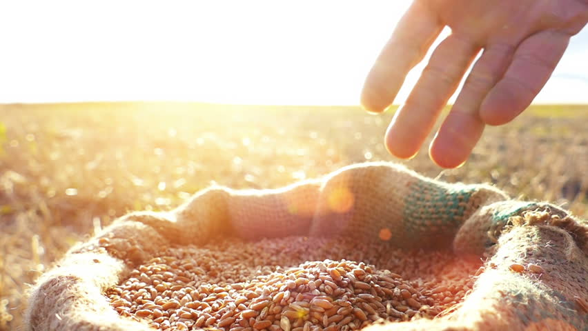 Strong man's hand takes a lot of wheat grains  from a sack, cultivated land , sky and sun in the background. Lens flare, sunset light.Slow motion, high speed camera, unrecognizable person   Shutterstock HD Video #11610353