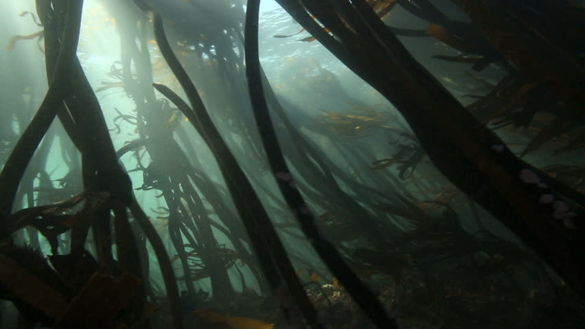 Sunlight rays shining through kelp forest underwater in False Bay, South Africa #11624873