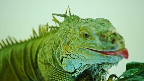 3K Green iguana on grey white  background. Close-Up View Of Iguana.