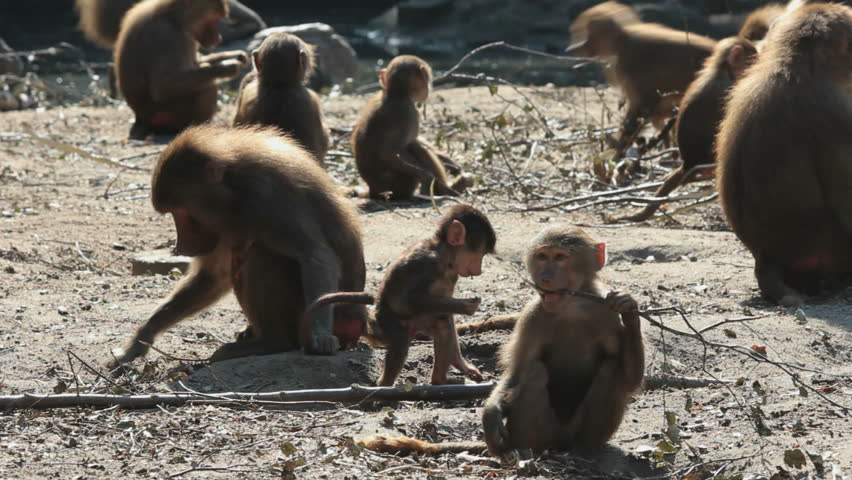 Baboon monkeys running around