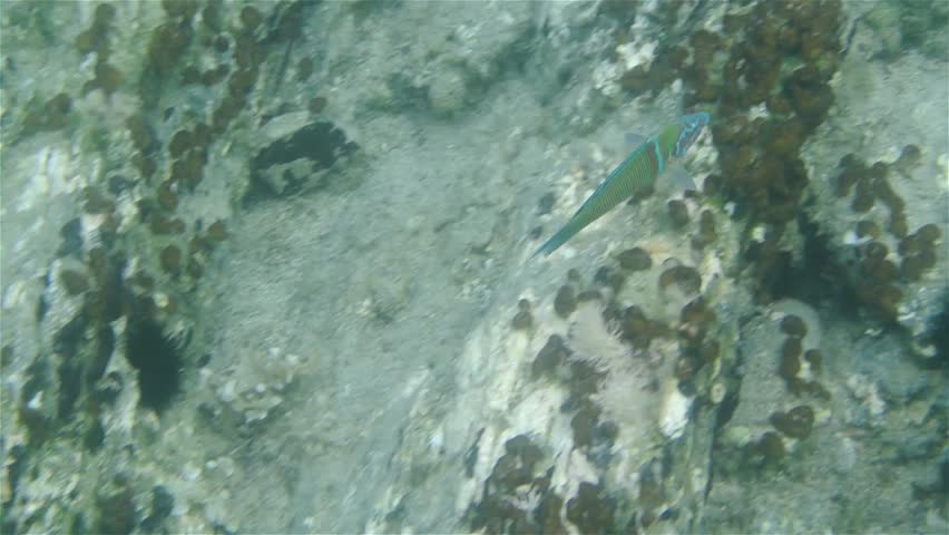 Tracking underwater footage of a colorful green fish swimming over stones in the sea.  | Shutterstock HD Video #11749814