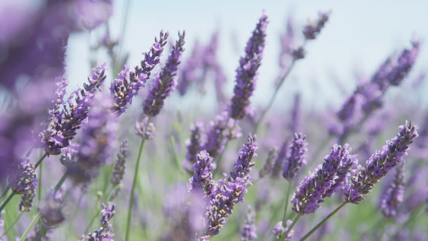 CLOSE UP: Beautiful blooming lavender flowers swaying in the wind   Shutterstock HD Video #11790596