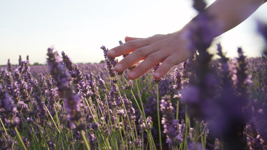 SLOW MOTION CLOSE UP: Hand touching purple flowers in beautiful lavender field at golden sunset #11795129