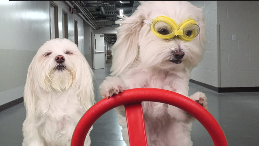 Adorable canine with serious expression wears safety goggles, drives another dog, acting like an inspector through hallways in warehouse utility vehicle. FUN dog concept. Motion, composite. 1080p   Shutterstock HD Video #11806559