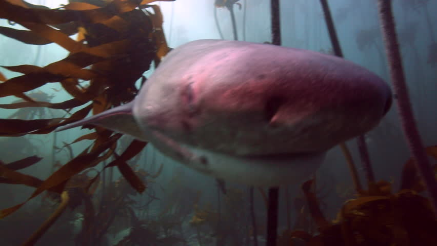Seven gill cow shark swimming through kelp forest bumps into camera in False Bay, Cape Town, South Africa