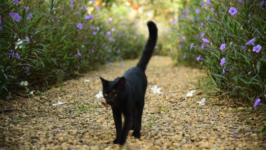 Cute black cat walk on brown pebble gravel in garden among flower bush   Shutterstock HD Video #11879252