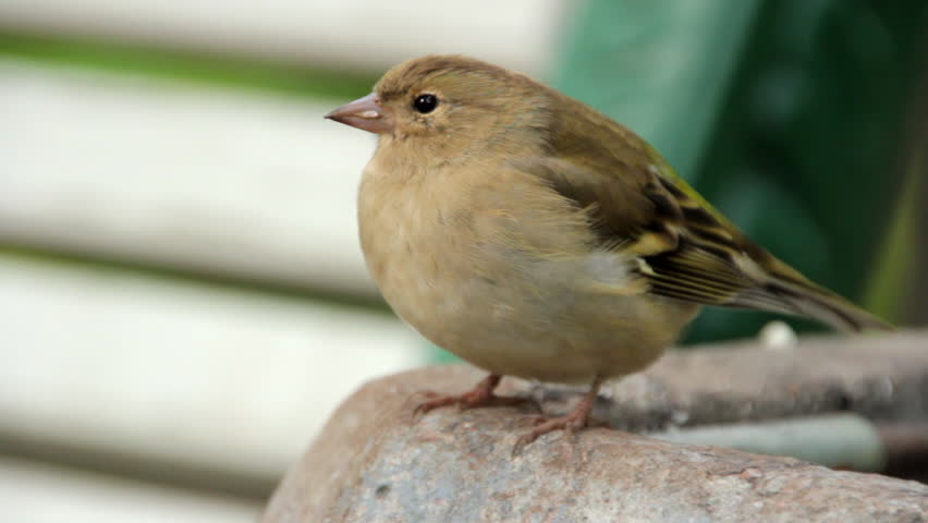 Sparrow in the park | Shutterstock HD Video #11894129