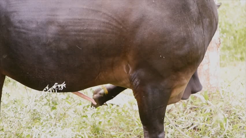 Applied andrology in water buffalo