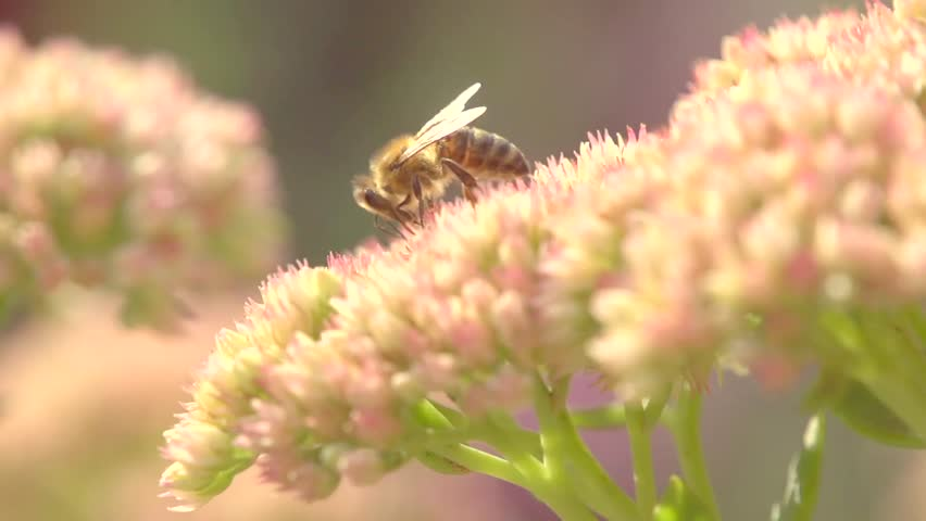Honey bee on beautiful flower working. Fluffy honey bee collecting nectar on the blossom. Green nature blurred background. Super slow motion video footage. High speed camera shot. Full HD 1920x1080p
