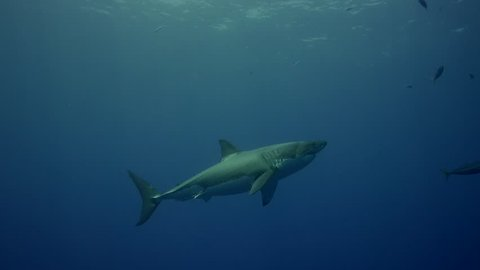 Great white sharks in Guadalupe island, Mexico