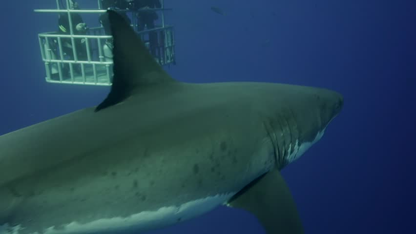 Great white sharks in Guadalupe island, Mexico | Shutterstock HD Video #11940587