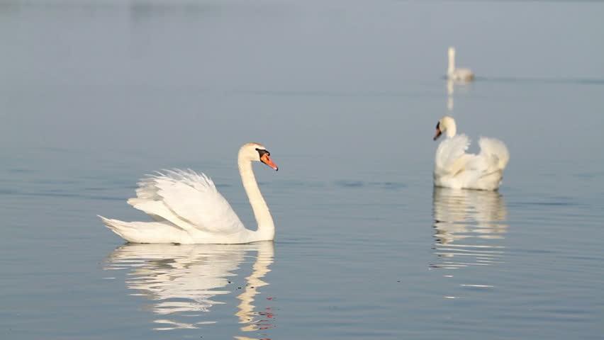 White swans on the water on lake Balaton in Hungary