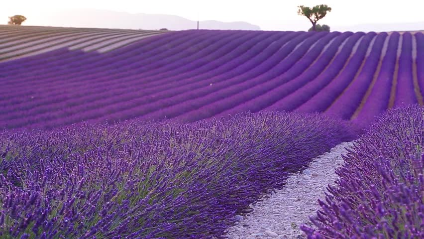 Lavender field in the summer in Valensole.Provence,France.   Shutterstock HD Video #11967842