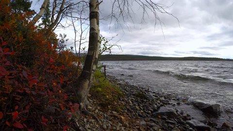 On the shore of northern Lake curve dwarf birch. Nordic autumn. Scandinavian Peninsula.Red berries cranberries. Wind.