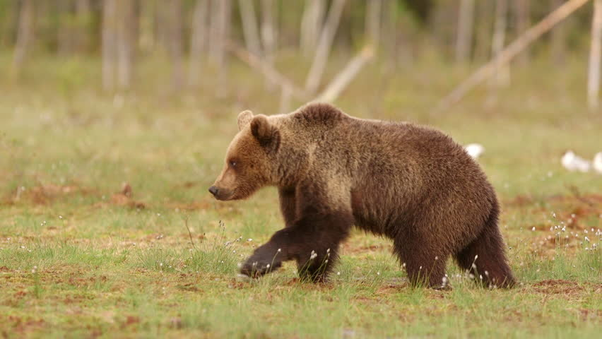 Brown bear walking in swamp right to left slow motion #12020177
