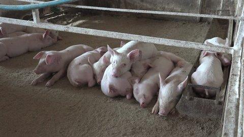 sex mit schweinen