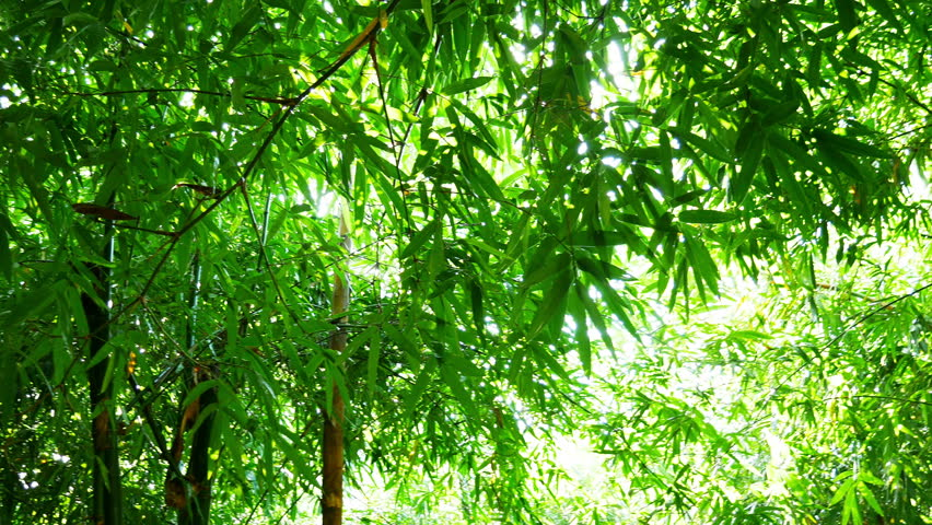 Bamboo forest by slider footage shot | Shutterstock HD Video #12080042