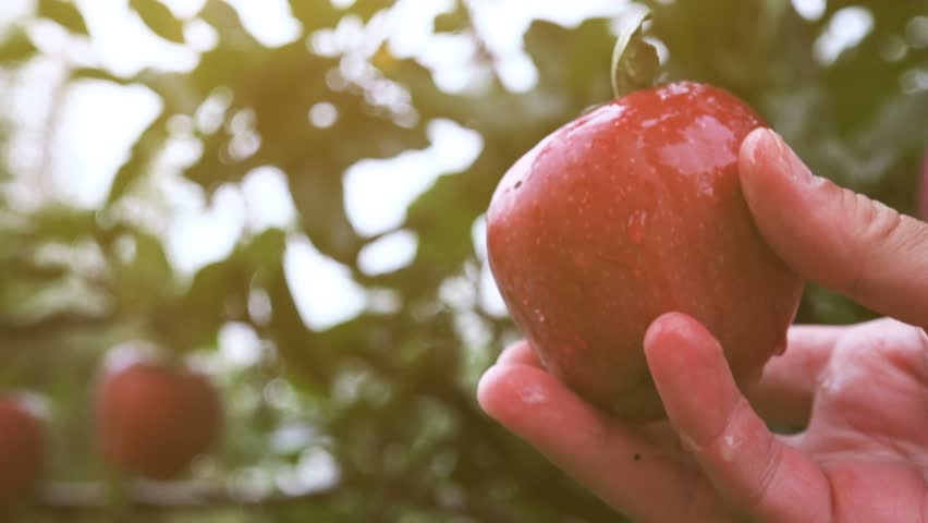 Hand picking apple from fruit tree branch in orchard after summer rain.