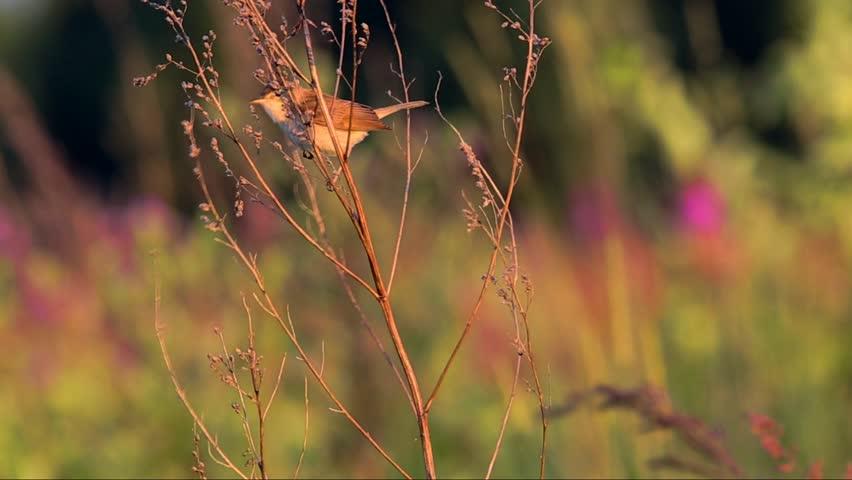Booted warbler (Hippolais caligata)  | Shutterstock HD Video #12090587