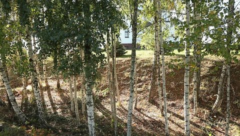 Video birch grove afternoon breeze stirs the leaves and branches fall