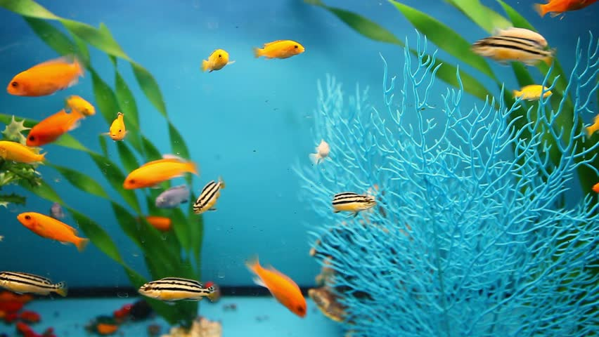 Blue Aquarium Background Calm Fish Stock Footage Video 100 Royalty Free 12138368 Shutterstock