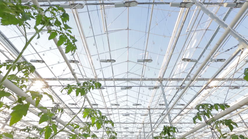 A large greenhouse, a lot of long rows of plants. | Shutterstock HD Video #12180293
