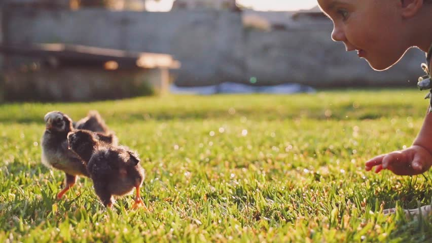 Toddler girl is playing  with little baby chickens on a green grass. Slow Motion 240 fps. Cute little baby discovering the world, getting to know fluffy chickens. Childhood and Easter concept.