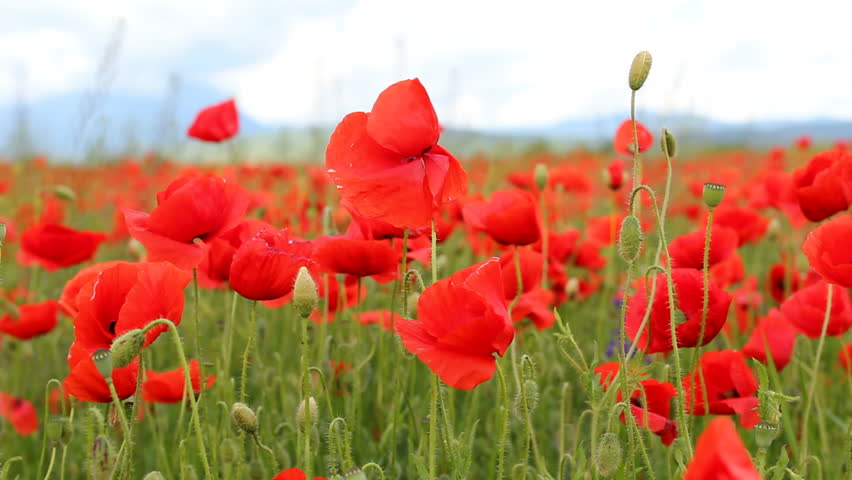 Red Poppies Flowers Dancing Spring Stock Footage Video 100