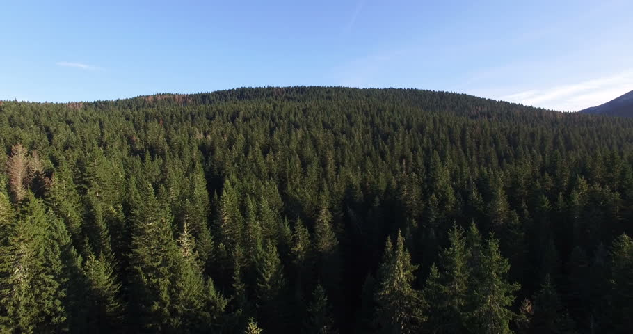 Aerial view of spruce forest near Black lake in Durmitor national park in Montenegro