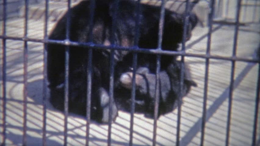 WASHINGTON DC 1973: Bear rolling around in small inhumane cage. #12280934