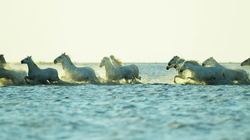 Sunset Camargue animal horses wild white livestock energy running freedom cowboy water Mediterranean nature tourism travel RED DRAGON | Shutterstock HD Video #12292646