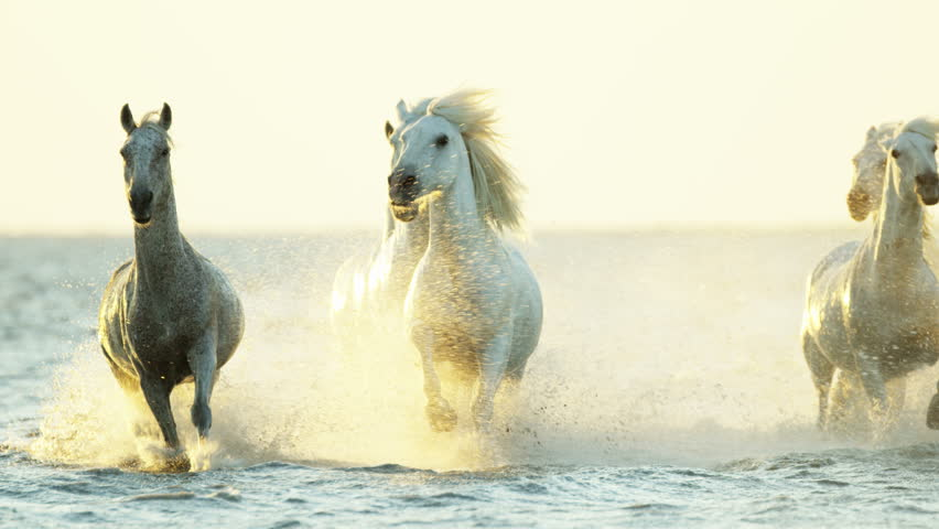 Cowboy Camargue rider animal horse sunset grey livestock nature France guardian Mediterranean sea galloping marshland freedom RED DRAGON | Shutterstock HD Video #12292667