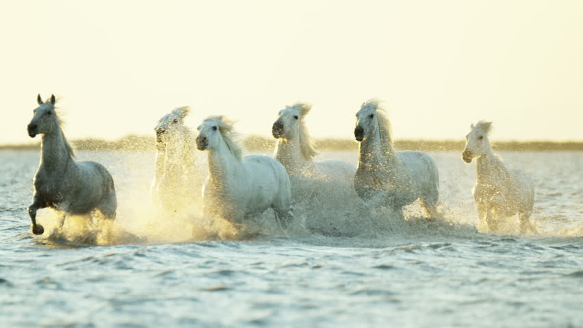 Camargue, France animal horses wild white livestock environment running rider cowboy water Mediterranean nature tourism travel RED DRAGON | Shutterstock HD Video #12292715