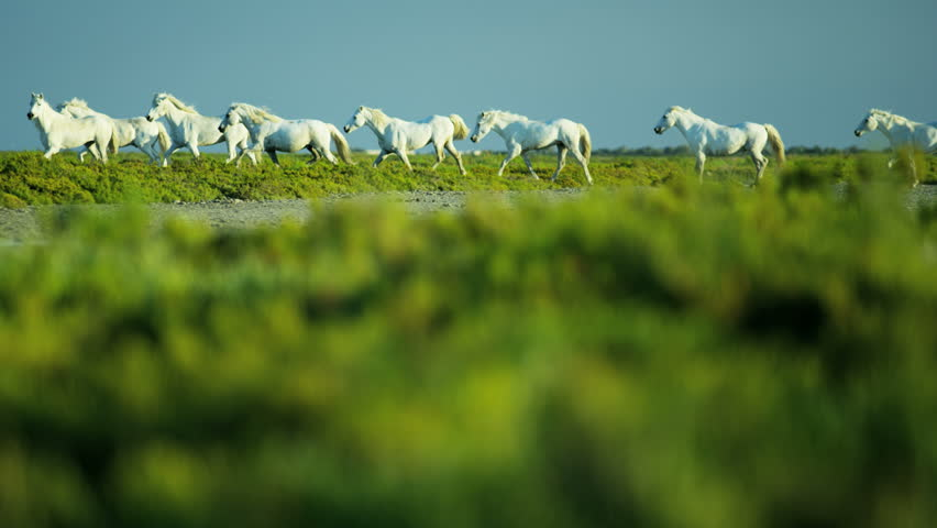 Camargue, France animal horses wild white livestock environment rider cowboy wetland freedom Mediterranean nature tourism travel RED DRAGON | Shutterstock HD Video #12292772