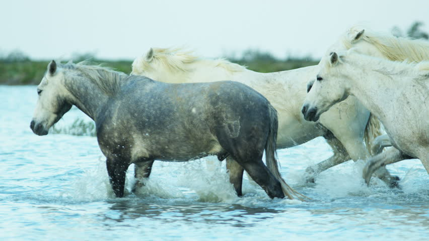 Camargue animal horses France wildlife herd Stallion Gelding water Mediterranean nature coastline outdoors marshland freedom RED DRAGON | Shutterstock HD Video #12292808