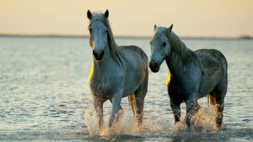 Camargue animal horses France sunset wildlife herd grey livestock sea Mediterranean nature outdoors marshland freedom travel RED DRAGON | Shutterstock HD Video #12292829