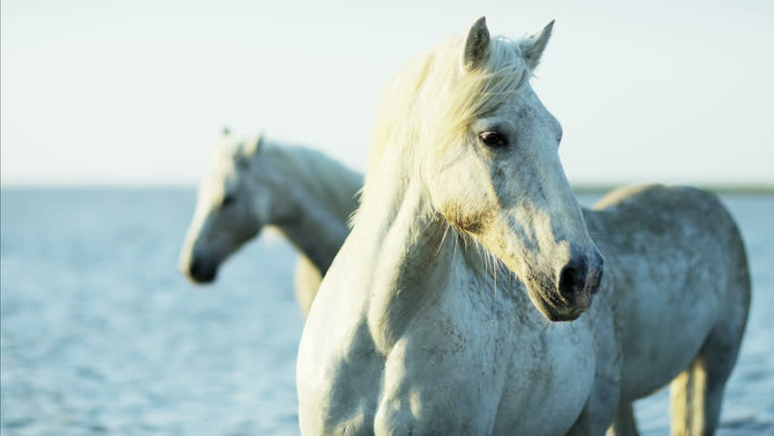 Camargue, France animal horses wild grey livestock environment cowboy water Mediterranean nature coastline tourism travel RED DRAGON #12293225
