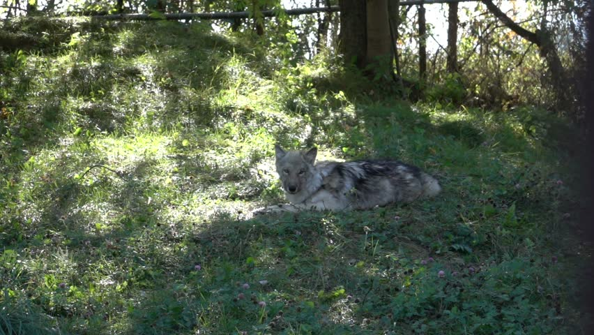 Gray Wolf in Nature - Super Slow Motion HD #12293600