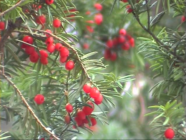 Pine Tree With Red Berries Stock Footage Video 100 Royalty Free