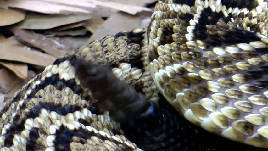 Eastern Diamondback Rattlesnake (Crotalus adamanteus) tail rattle | Shutterstock HD Video #1230424