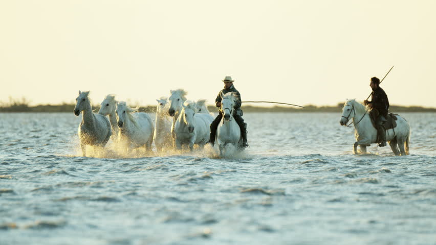Cowboy Camargue rider animal horse sunset grey livestock nature France guardian Mediterranean sea galloping marshland freedom RED DRAGON | Shutterstock HD Video #12327575