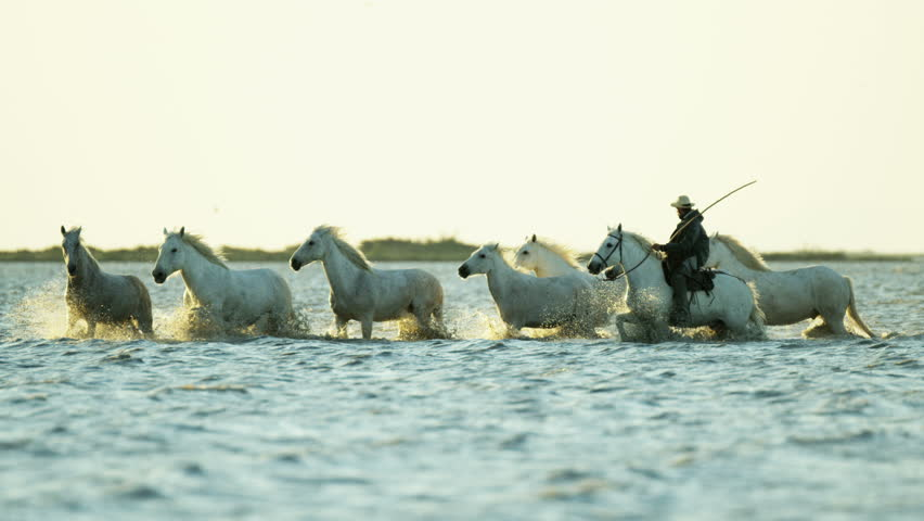 Camargue, France animal horse wild white livestock sunrise rider cowboy running water Mediterranean nature tourism travel RED DRAGON | Shutterstock HD Video #12327623