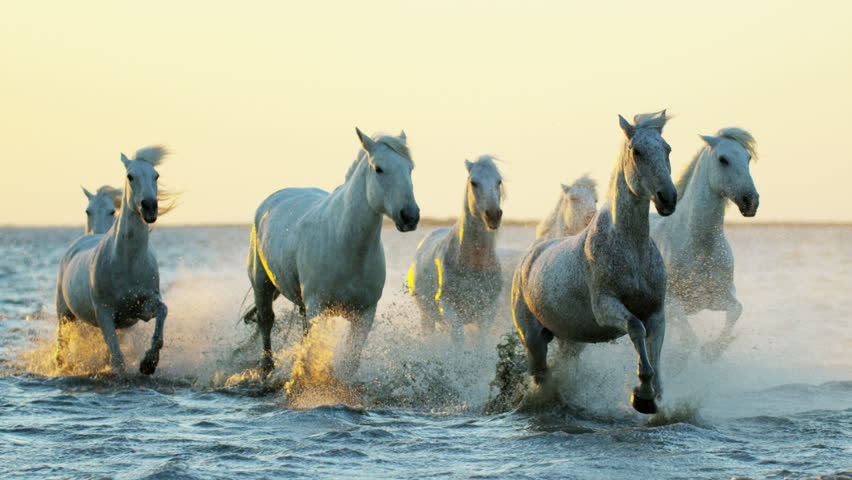 Cowboy Camargue France rider animal horse sunrise white livestock nature France running Mediterranean water outdoors wetland freedom RED DRAGON | Shutterstock HD Video #12327677