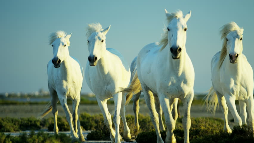 Camargue, France animal horses wild white livestock environment rider cowboy wetland freedom Mediterranean nature tourism travel RED DRAGON #12328256