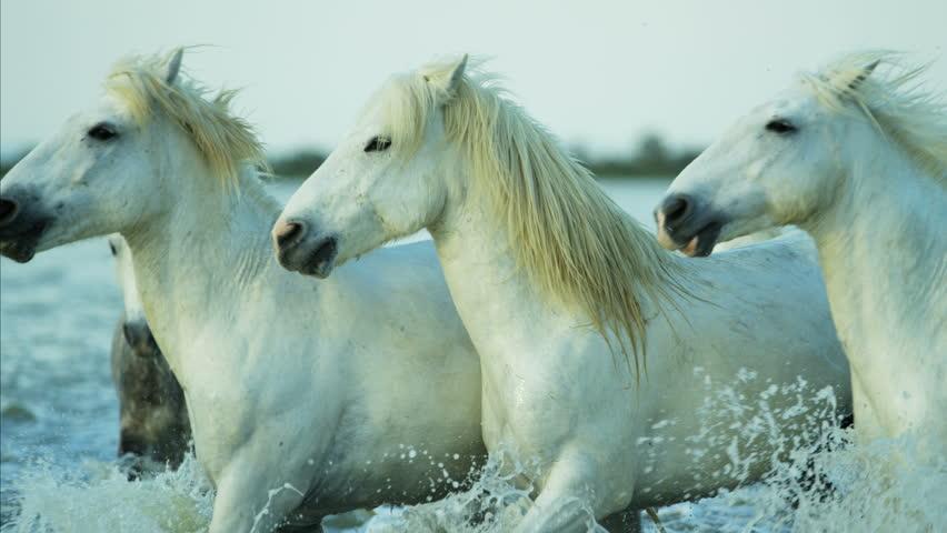Camargue, France Mediterranean coastline Stallion Gelding outdoors animal horse wild white water running tourist travel RED DRAGON   Shutterstock HD Video #12329324