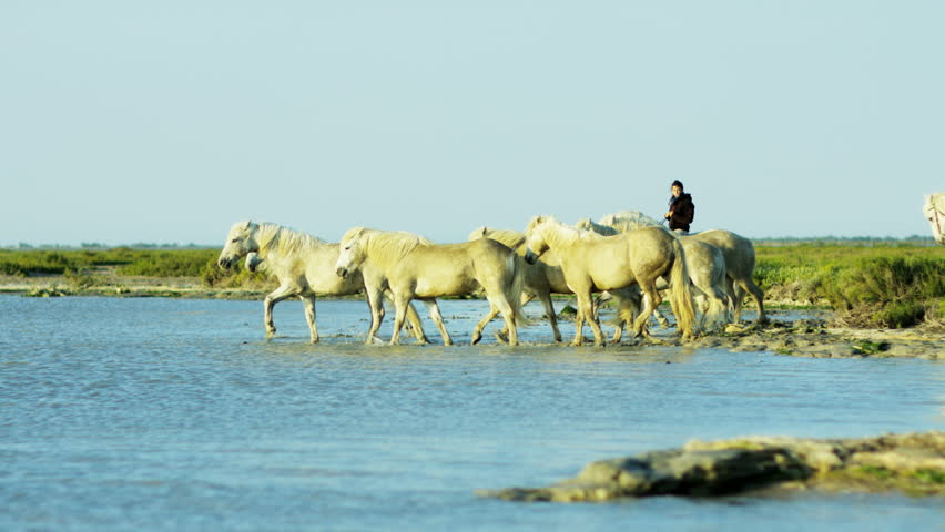 Camargue, France animal horse wildlife white livestock environment male rider cowboy water Mediterranean nature vacation travel RED DRAGON #12329561