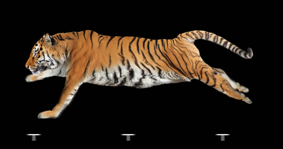 Tiger runs. Isolated and cyclic animation. Alpha channel.