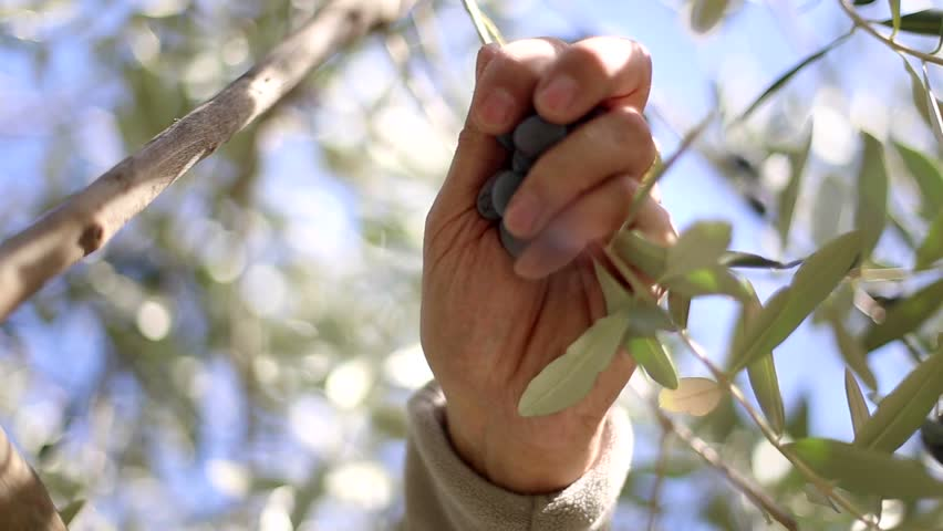Closeup of farm worker man picking up olives during olives harvesting: Closeup on hands and the branches of olive trees in the olive grove. | Shutterstock HD Video #12426824